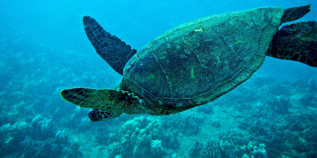 Oahu Snorkel Tour with Sea Turtles